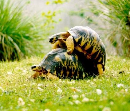 tortue-sexe